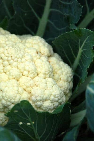 Cauliflower is a great vegetable to plant in early spring