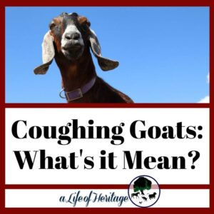 coughing goats: what you need to know!
