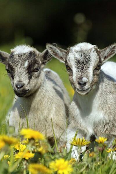 You'll always want more cute goats in your goat pen