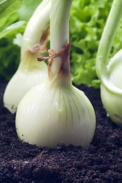 Onions should be one vegetable planted in your garden. They are very fast growing veggies