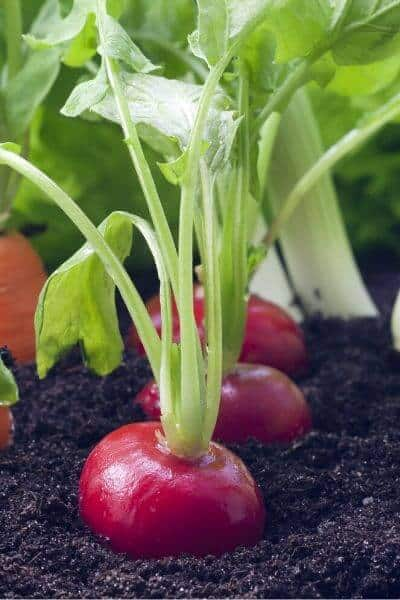 Radishes are a very fast growing vegetable