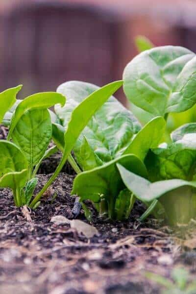 Spinach will grow fast in your garden