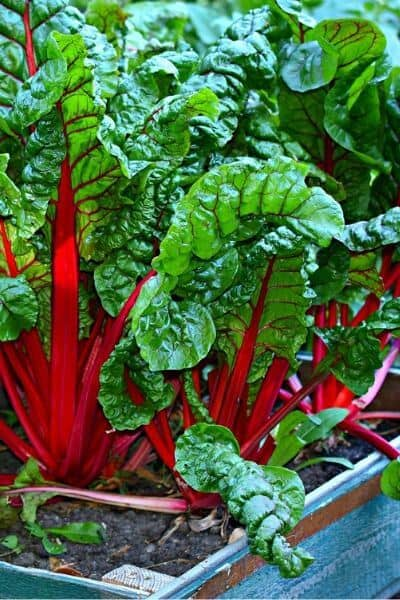 Swish chard is beautiful and has many ways to cook it but it also grows very fast