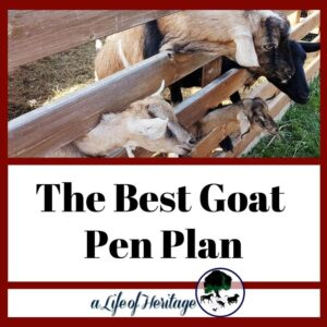 The best goat pen plan with goats sticking their head through a fence