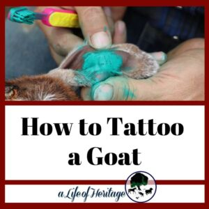 A tattoo on a goat is a way to identify the goat
