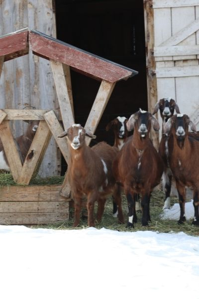Goats standing in snow next to a pallet feeder