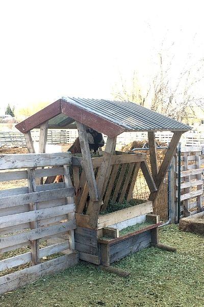 Pallet goat feeder feeding two pens