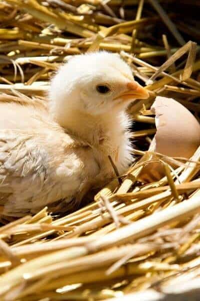 chick resting in straw after hatching from egg
