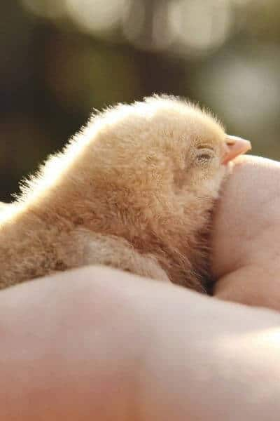 Chick being held in hand