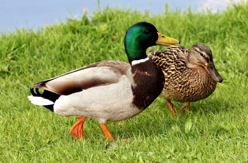 Mallard ducks, female and male standing by pond