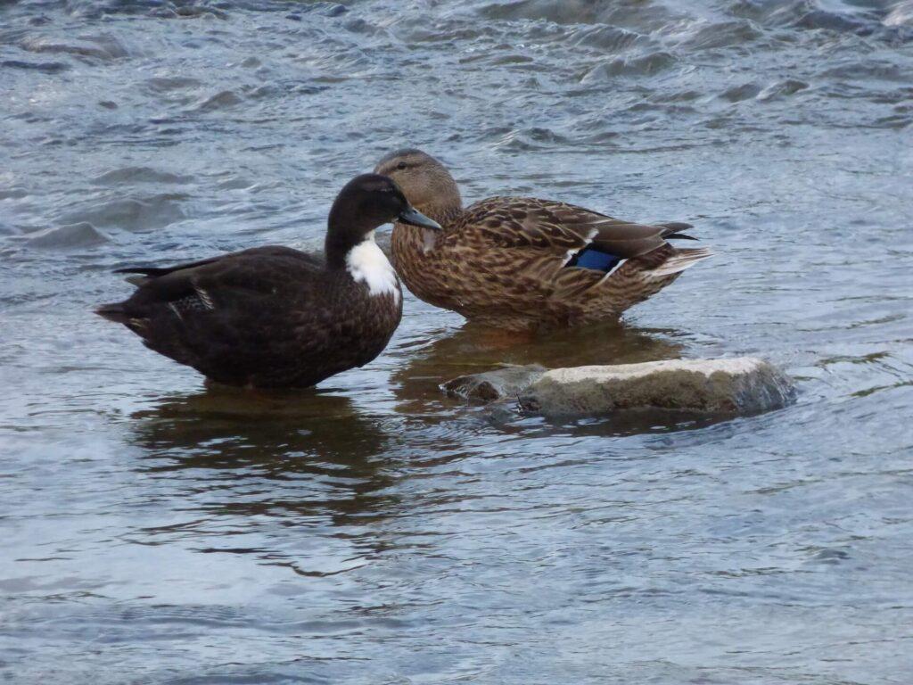 Swedish ducks standing in water