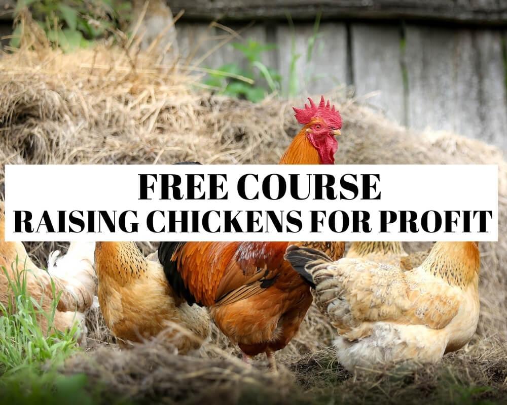 Raising chickens for profit